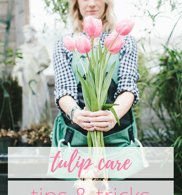 Tulip Care: Tips & Tricks