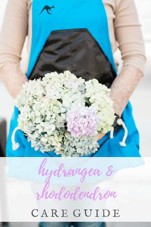 Hydrangea and rhododendron how to care for your plants for How to care for rhododendrons after blooming