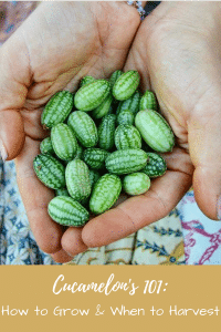 Cucamelon 101_ How to Grow & When to Harvest