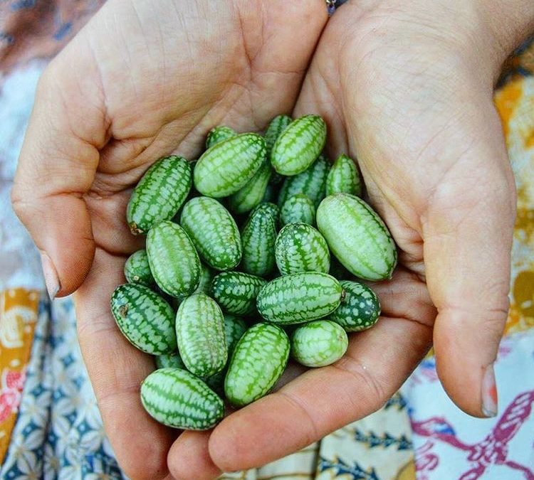 Cucamelons 101: How to Grow & When to Harvest