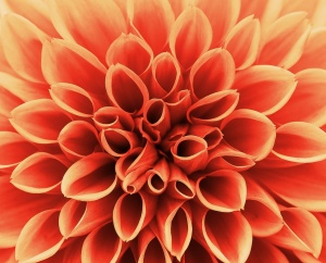 orange dahlia close up