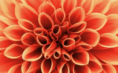 10 Interesting Facts About Dahlias That May Surprise You